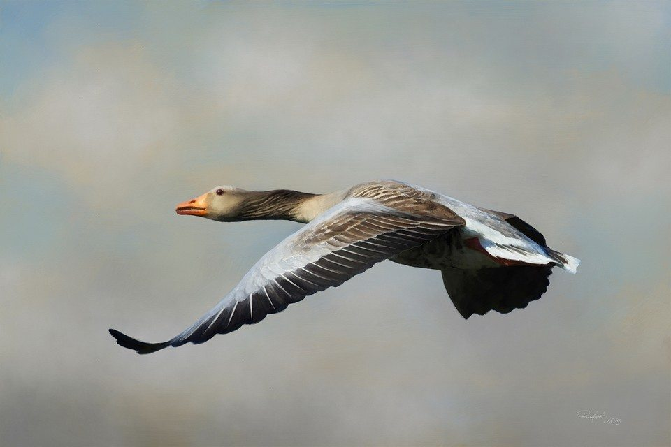 Don't Delay (Goose) artrage art by Stephen Rasche-Hilpert