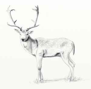 Fallow deer pencil sketch ArtRage 5