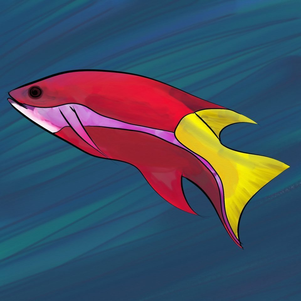 Cuban Hogfish Felt Pen tutorial