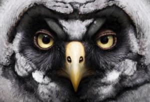 Juvenile great grey owl by Tom Björklund