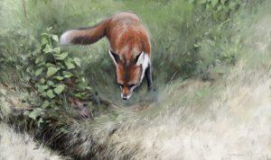 Red fox by Tom Björklund