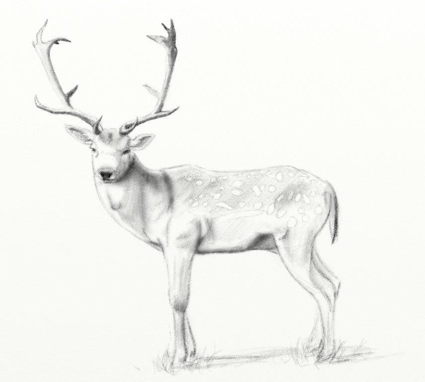 Fallow Deer pencil sketch ArtRage 5